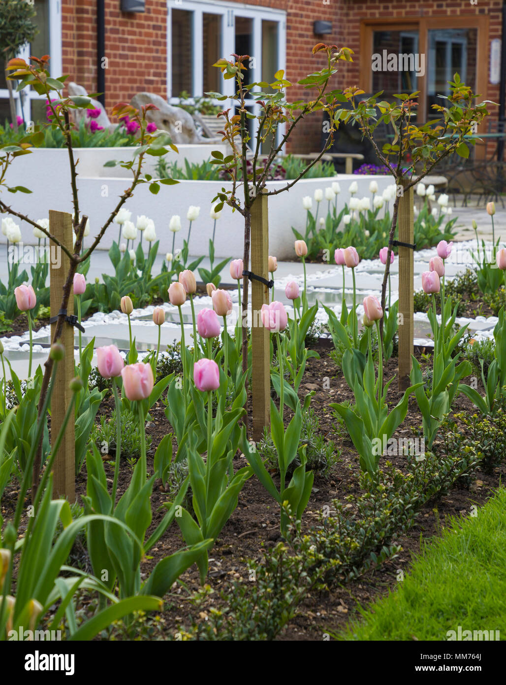 """Standard di mezza Rosa """"Stella Polare"""" underplanted con Tulipa """"diamante rosa', con Ilex crenata 'Dark verde' utilizzato come confine basso bordatura. Credits: Design by Foto Stock"""