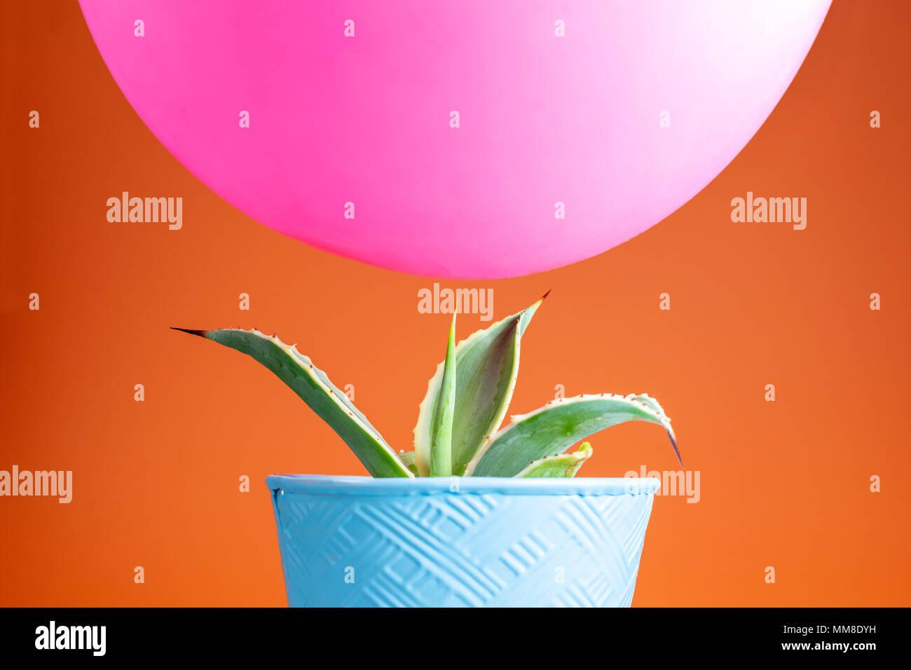 Rosa di bilanciamento del palloncino precariamente al di sopra di una punta acuminata cactus con un luminoso sfondo arancione Immagini Stock