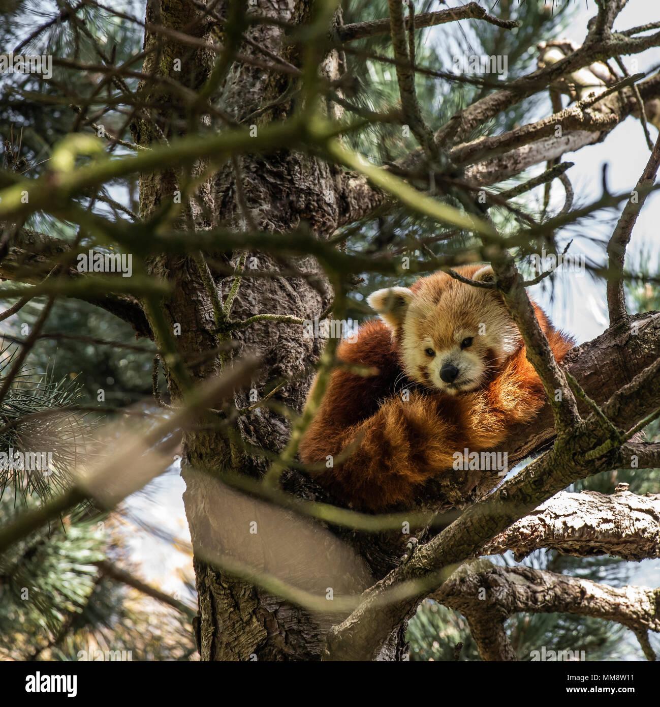 Il panda rosso o anche conosciuto come il rosso Cat-Bear. Leggermente più grandi di gatti domestici è mosty trovati nell'Himalaya orientale's Immagini Stock