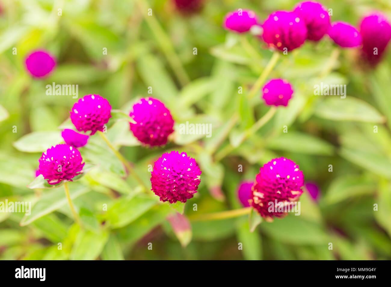 Amaranto a globo o Gomphrena globosa fiore, fiore rosa in giardino. Immagini Stock