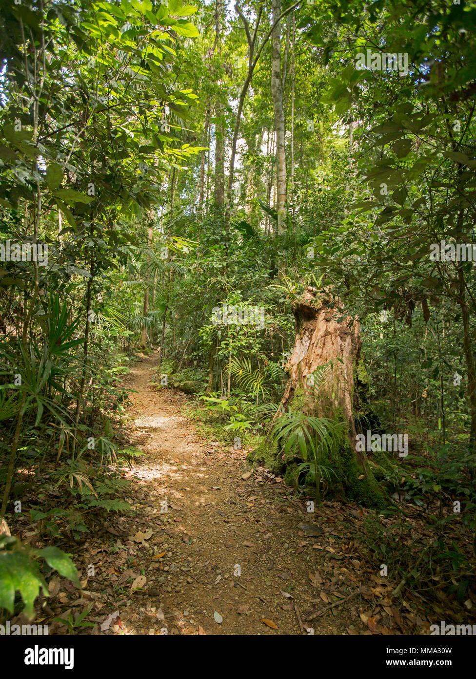 Via a piedi attraverso la fitta verde smeraldo di vegetazione di foresta pluviale Eungalla nel Parco Nazionale di Queensland in Australia Immagini Stock