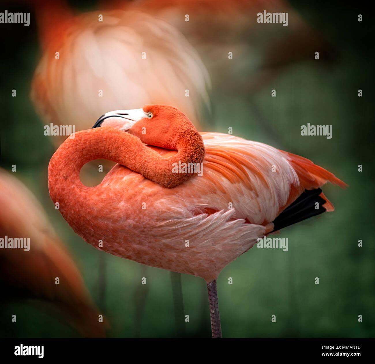 Un elegante Flamingo bird in piedi in un gregge. Immagini Stock