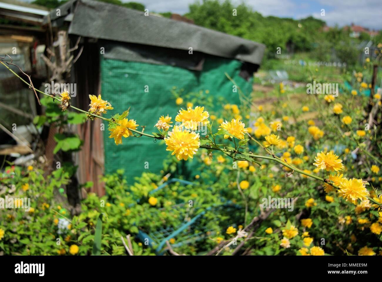 Kerria Japonica, Bachelor's,pulsante giallo arbusto a fioritura Immagini Stock