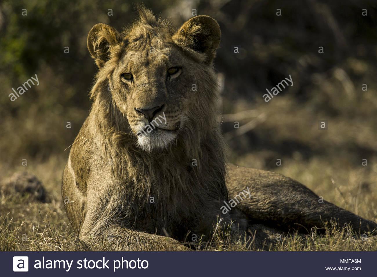 Un adolescente di sesso maschile di Lion, Panthera leo di riposo. Immagini Stock