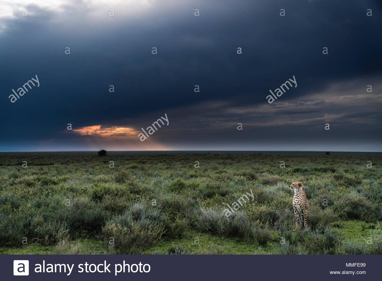 Un maschio, ghepardo Acinonyx jubatus, al tramonto nel Parco Nazionale del Serengeti. Immagini Stock