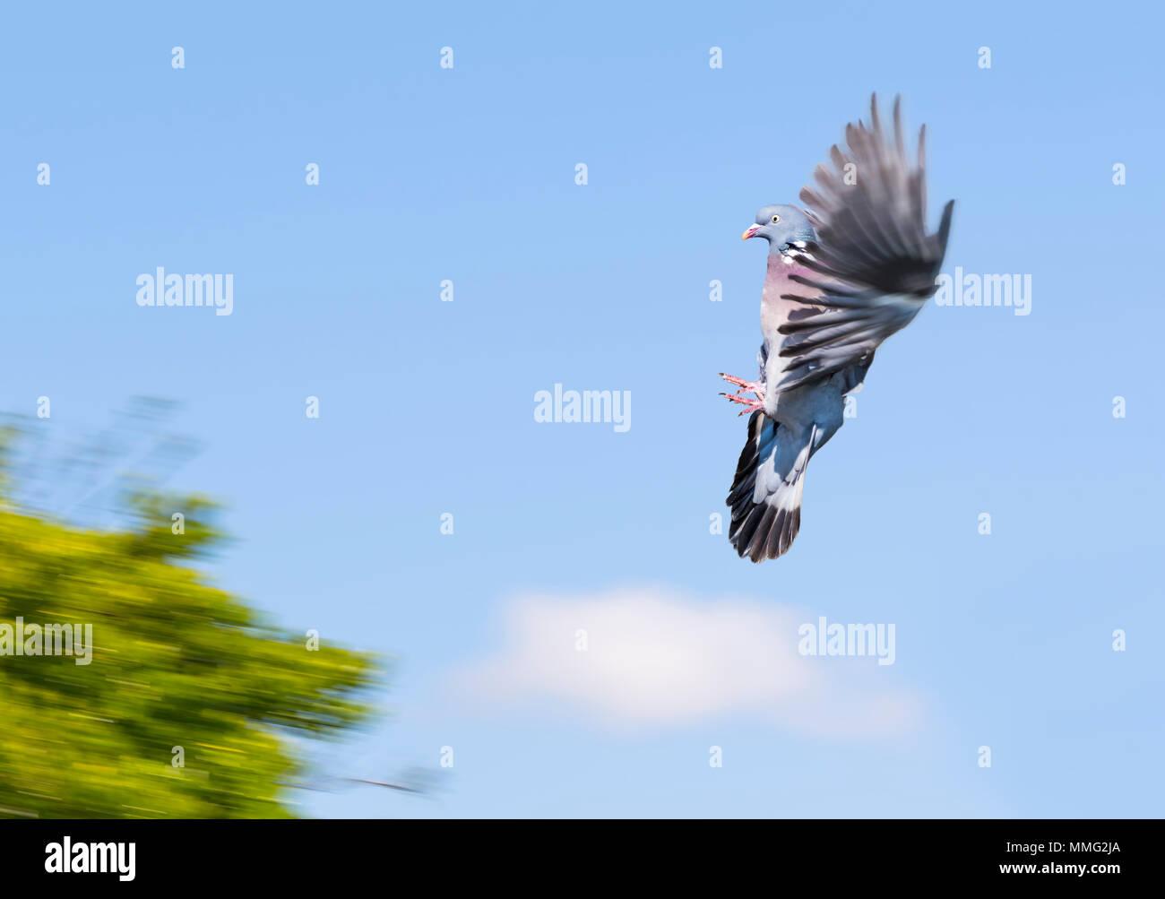 Il Colombaccio ( Columba palumbus) con ali fino congelati in aria contro il cielo blu e la venuta in terra su un albero, nel Regno Unito. Immagini Stock