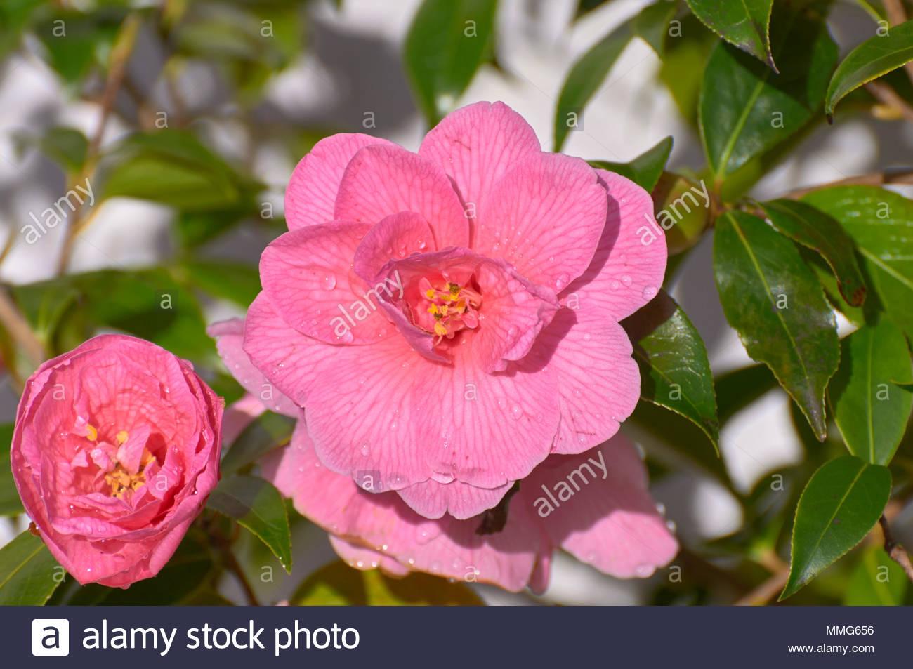 Rosa camelie Camelia sinensis arbusto in un britannico uk GIARDINO PRIMAVERA Immagini Stock