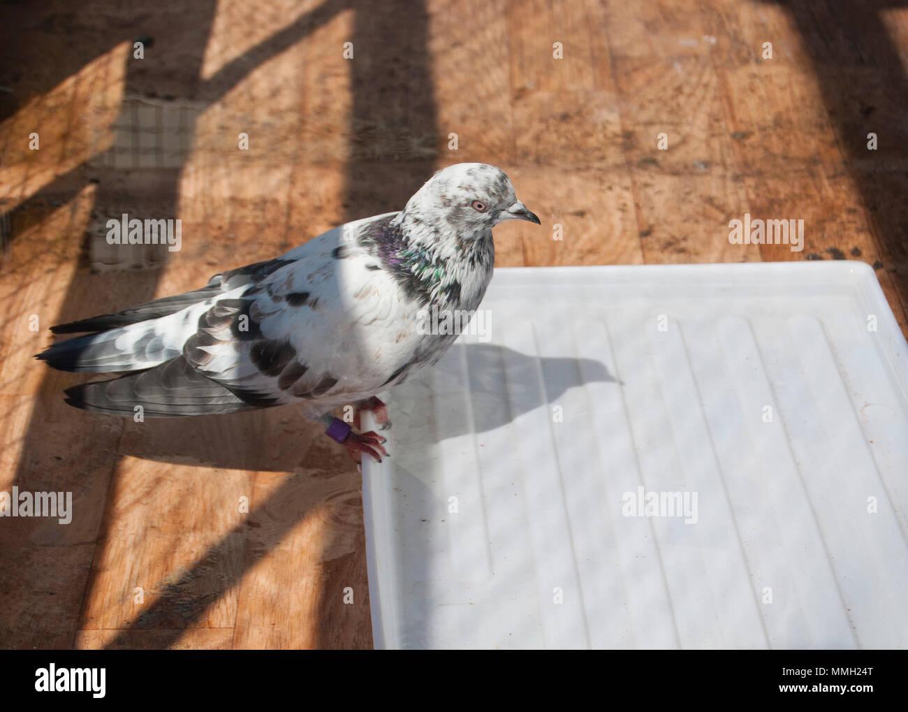 Vasca Da Bagno In Inglese : In casa a chiazze di razza piccione inglese tippler seduto sul bordo