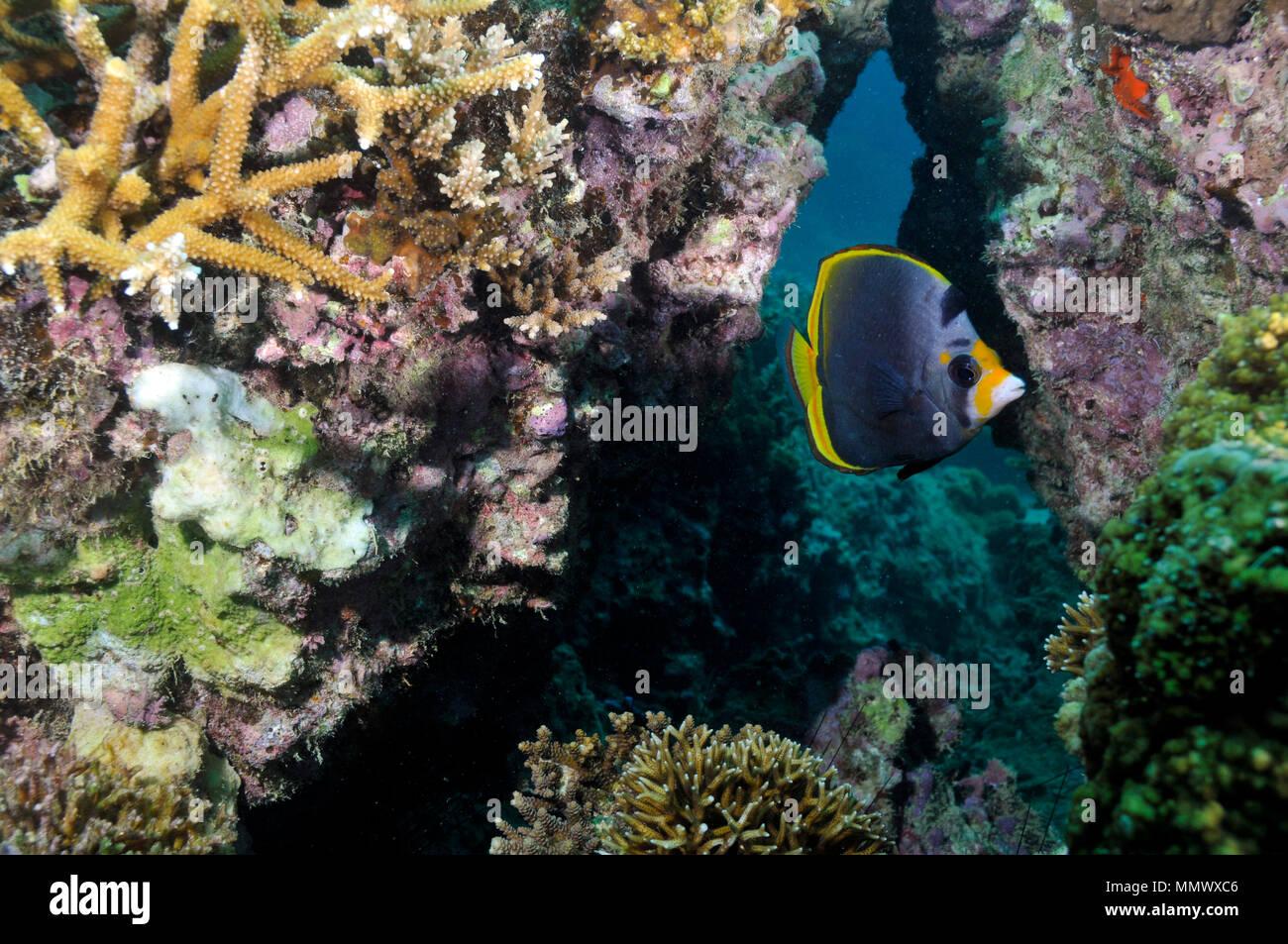 Nero, butterflyfish Chaetodon flavirostris, in una barriera corallina, Seche Croissant, Noumea, Nuova Caledonia, Sud Pacifico Immagini Stock