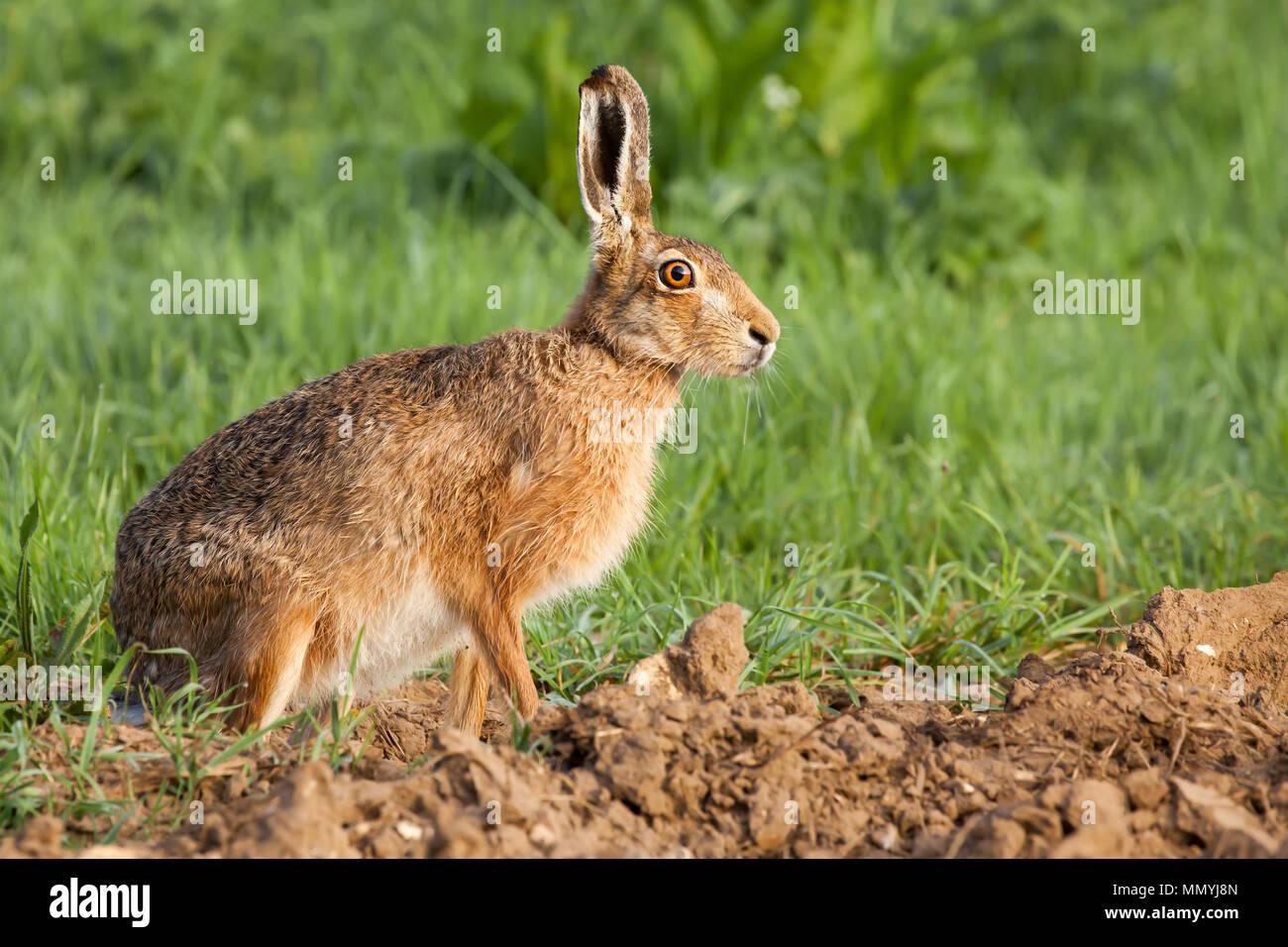 Wild hare ritratto da vicino. Animale in bilico sul bordo di un campo di coltivazione fissando con la sua brillante giallo ambra occhi di grandi dimensioni Immagini Stock
