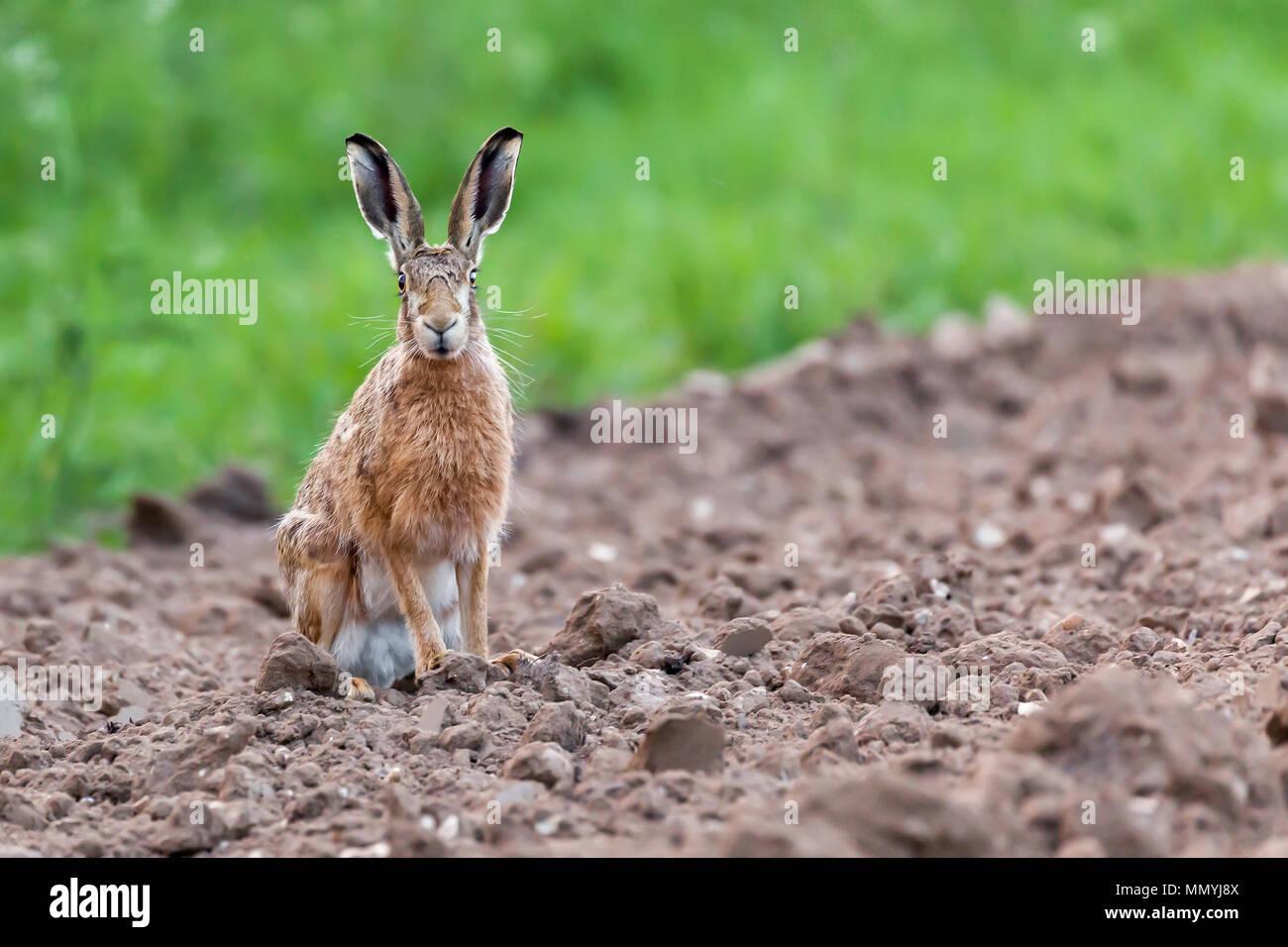 Wild lepre sat fissando direttamente alla fotocamera. Close up ritratto della fauna selvatica in NORFOLK REGNO UNITO Immagini Stock