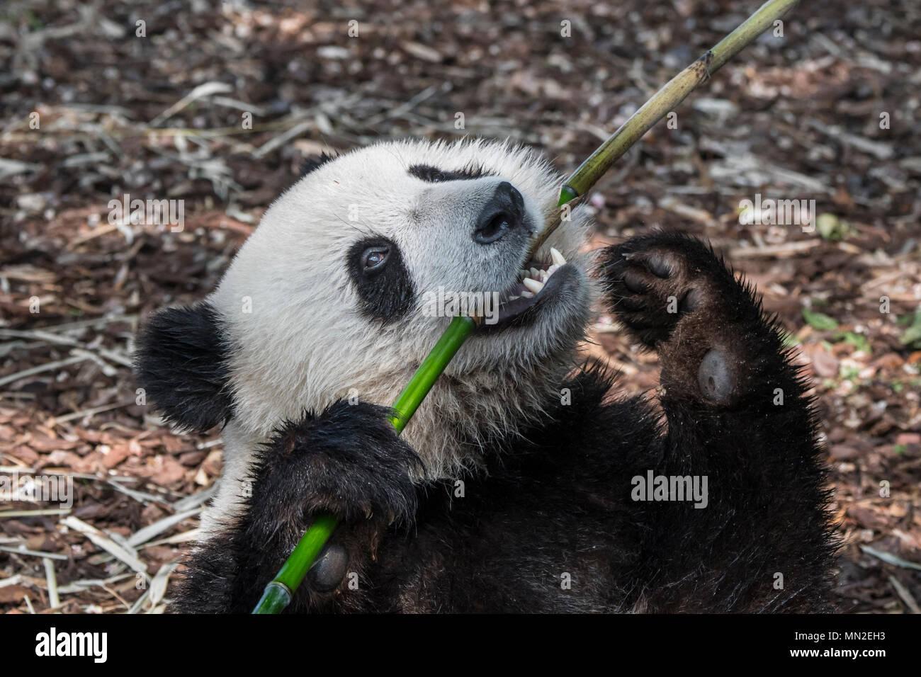Giovani due anni panda gigante (Ailuropoda melanoleuca) cub di mangiare il bambù Foto Stock