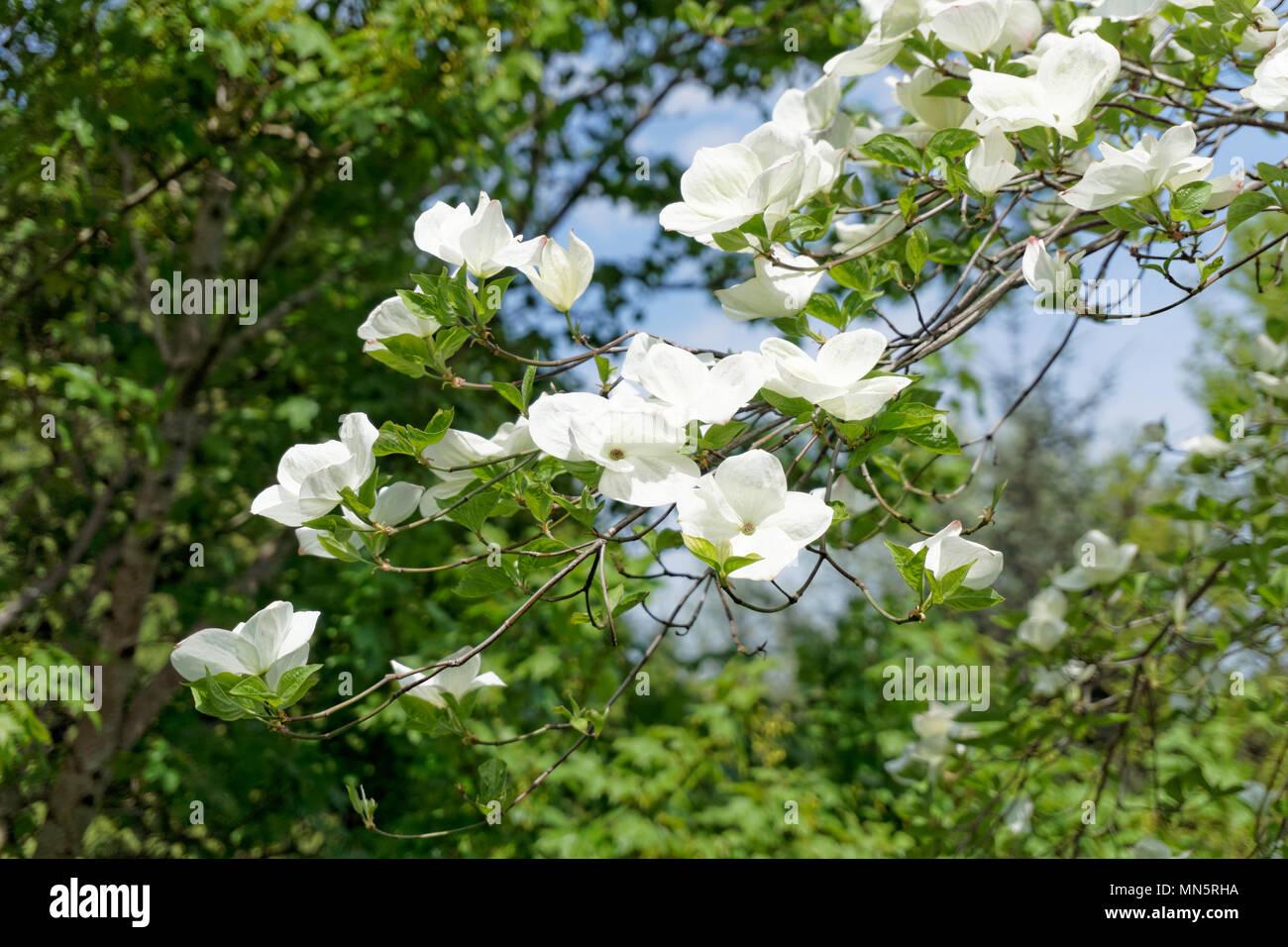 Albero Con Fiori Bianchi close-up di western fioritura sanguinello o pacific