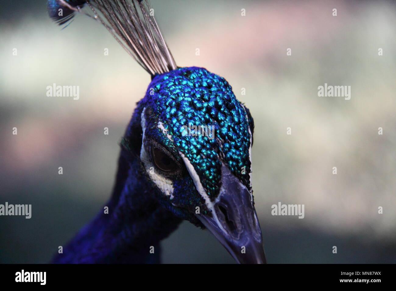 Indian Peacock (Pavo cristatus) Immagini Stock