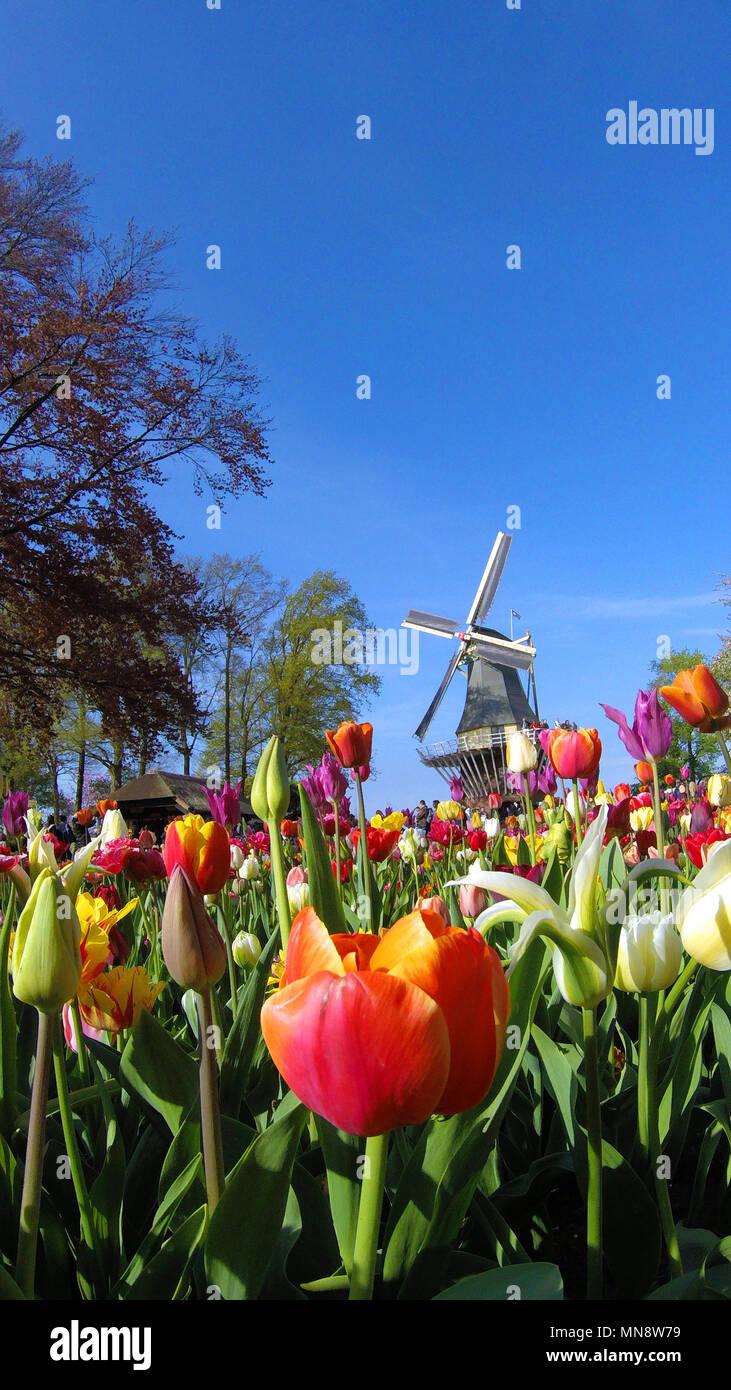Giardini Keukenhof il mulino a vento di tipo iconico con molla tulipani in fiore a giardini Keukenhof 2018 Lisse, South Holland, Paesi Bassi Foto Stock