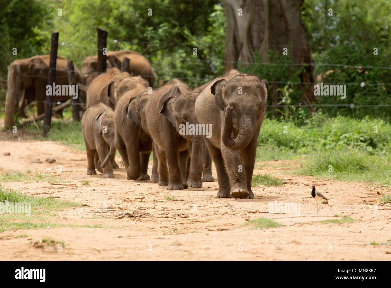 Gli elefanti avanzamento all'Elefante Udwawalawe Casa di transito a Uwawalawe parco nazionale in Sri Lanka. Immagini Stock