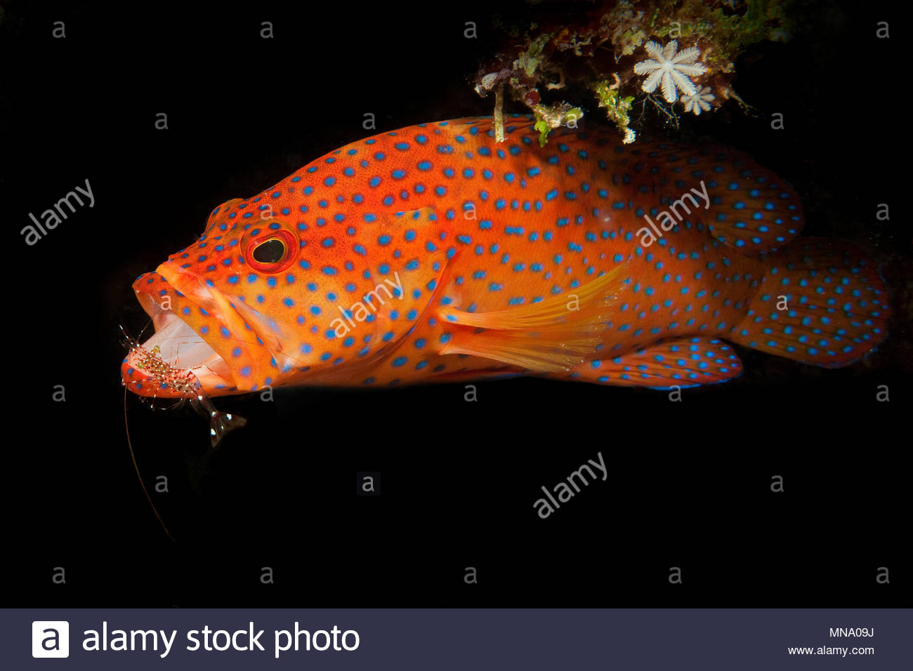 Coral hind, pulitore di gamberi | Juwelenzackenbarsch mit Putzergarnele | Cephalopholis miniata Immagini Stock