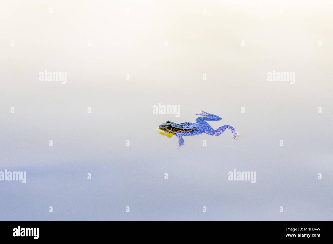 Rana nuotate nel lago Immagini Stock