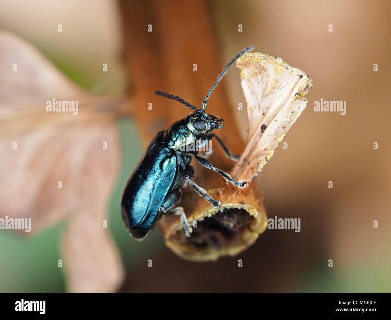Altica sp. beetle su una pianta seccata, vista laterale Immagini Stock