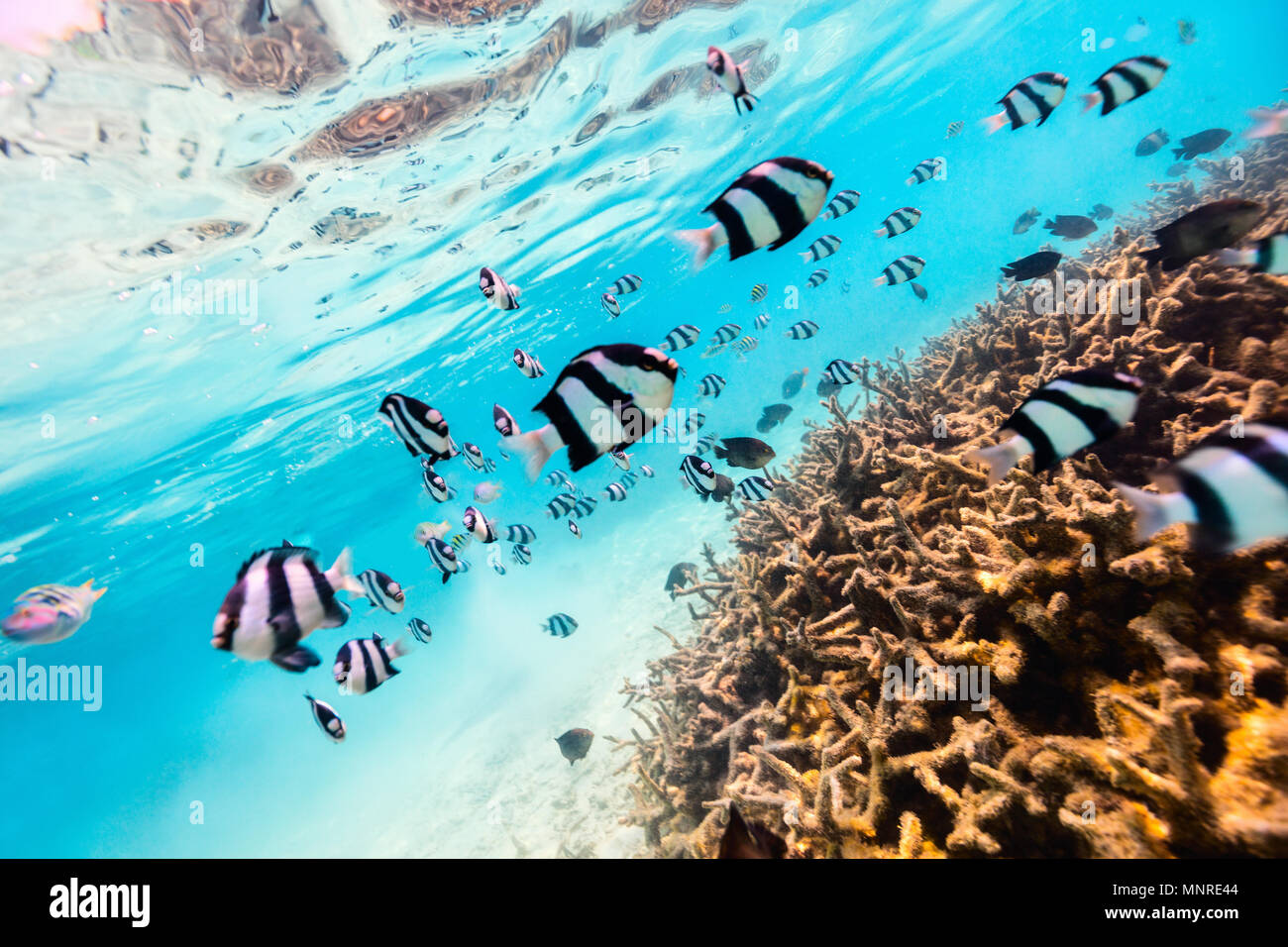 Bella colorate barriere coralline e pesci tropicali in subacquea Maldive Immagini Stock