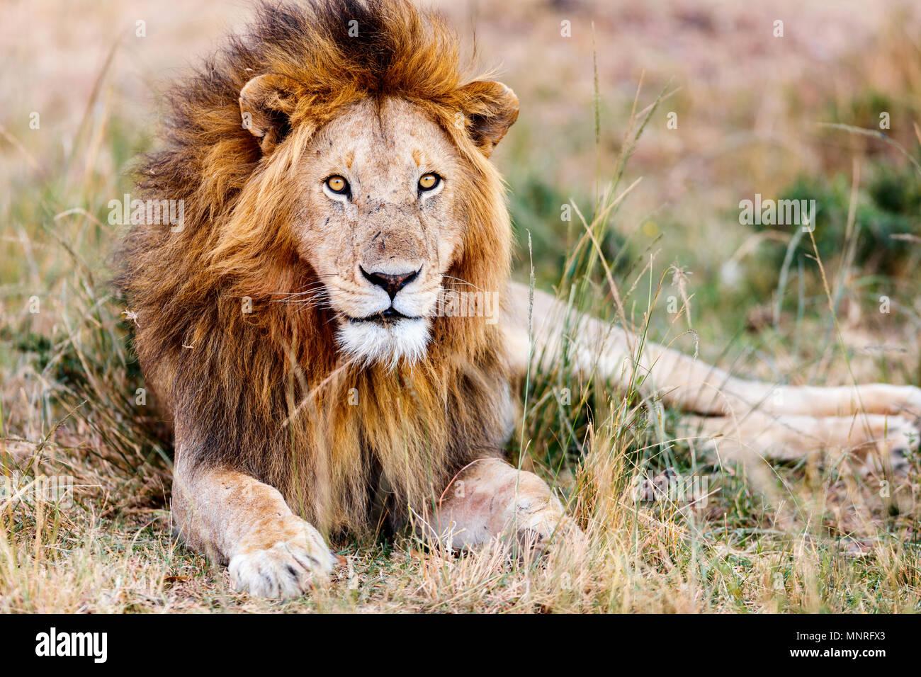 Maschio di leone giacente in erba nella savana in Africa Immagini Stock