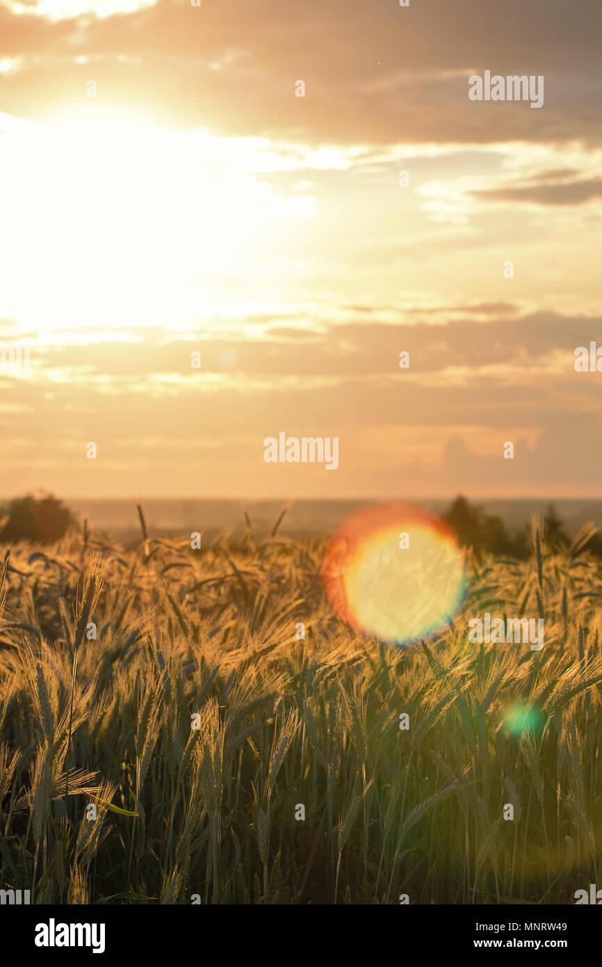 Spighe di grano sotto il sole. Sole che splende attraverso il grano maturo. Foto Stock