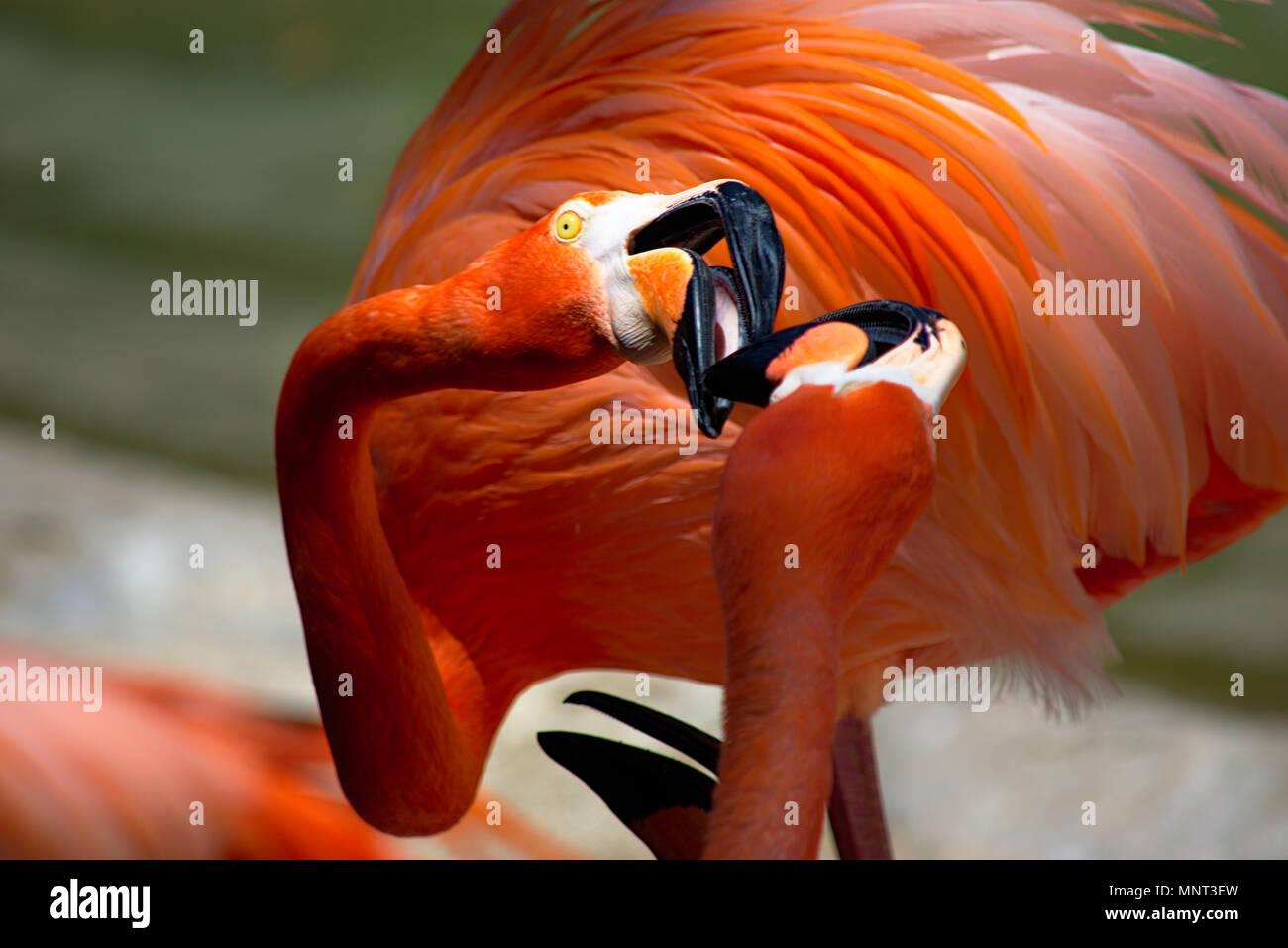 Flamingo allo Zoo di San Diego Immagini Stock