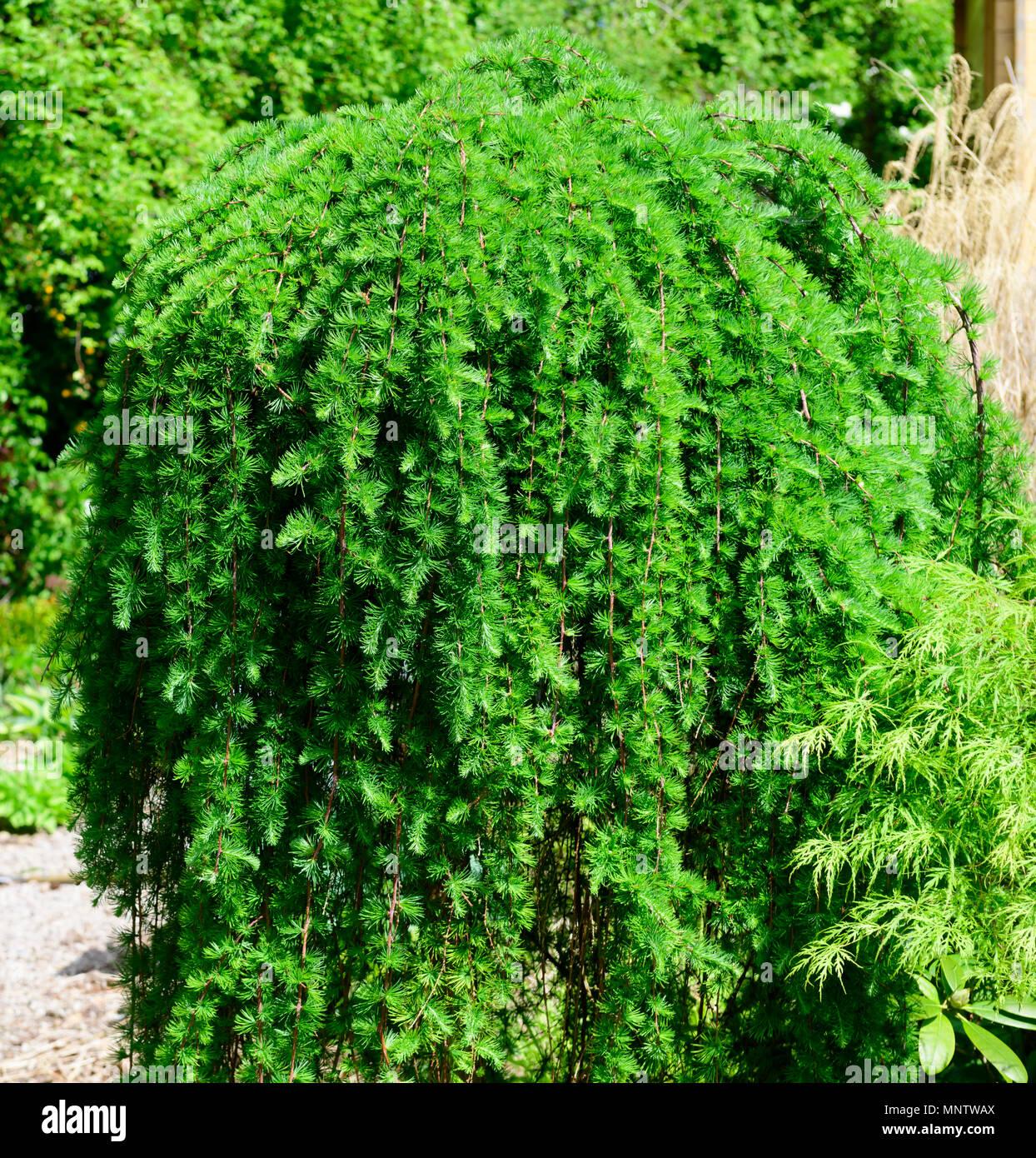 Dwarf piangenti conifere, Tsuga heterophylla 'Thorsen il pianto della' Immagini Stock