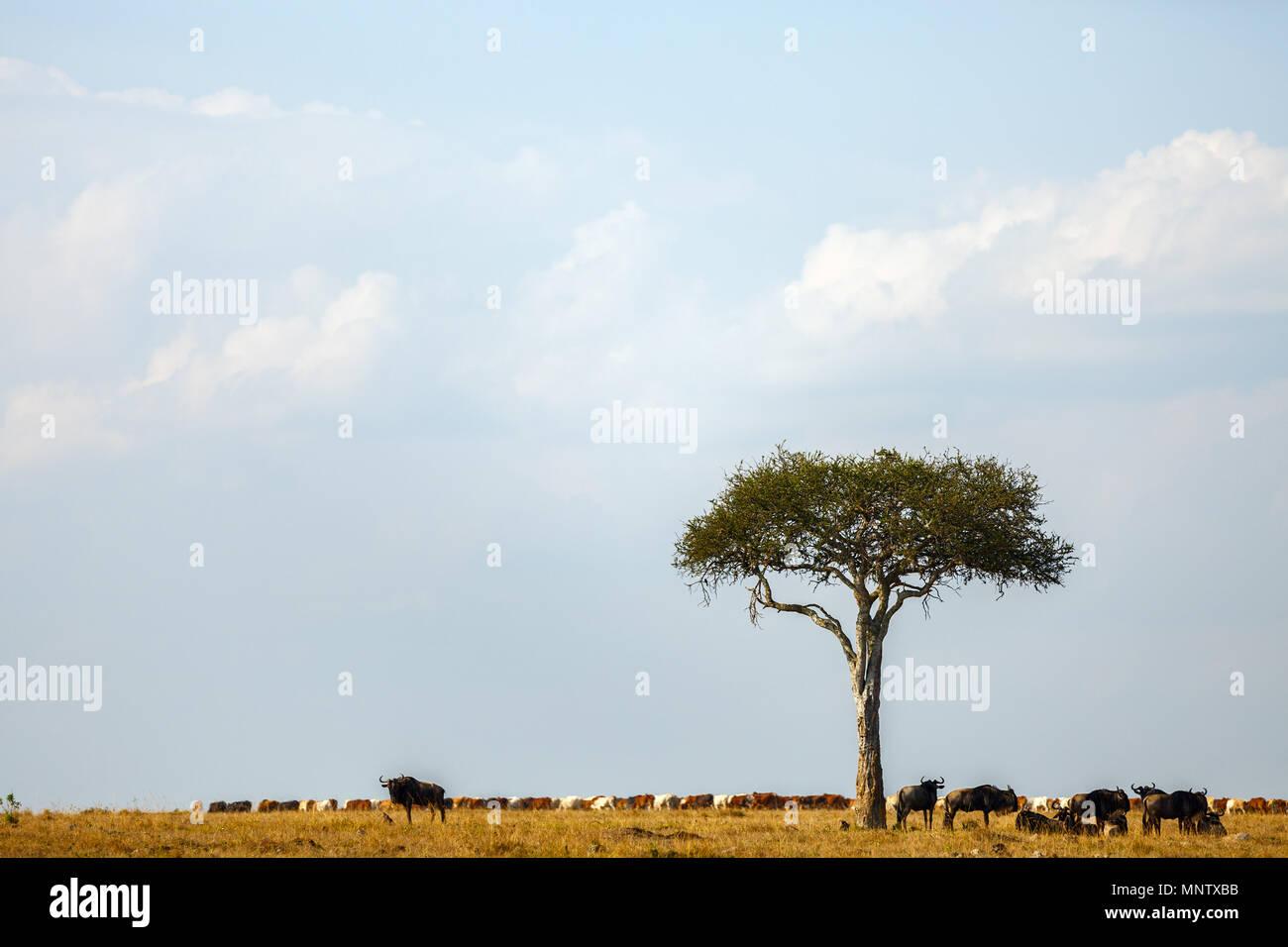 Wildebeests sotto alberi di acacia nel Masai Mara Kenya Immagini Stock