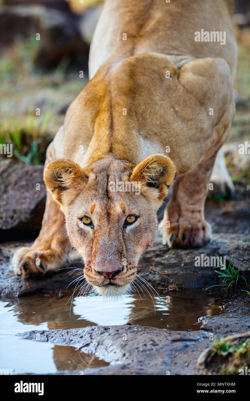 Close up della leonessa acqua potabile dopo alimentazione Immagini Stock