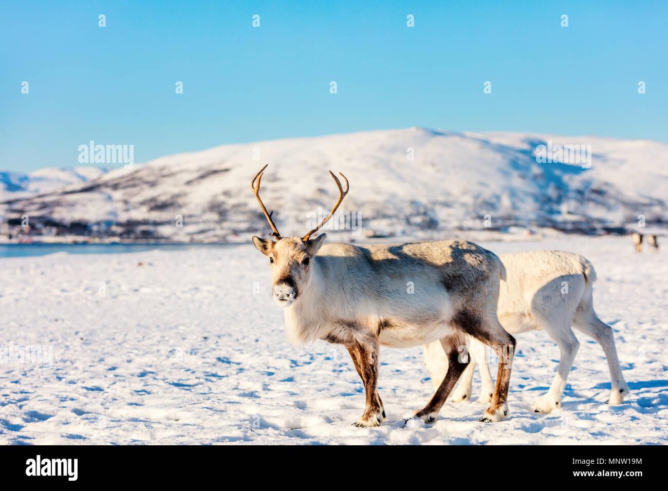 La renna nel nord della Norvegia con fiordi mozzafiato dei paesaggi sulla soleggiata giornata invernale Immagini Stock