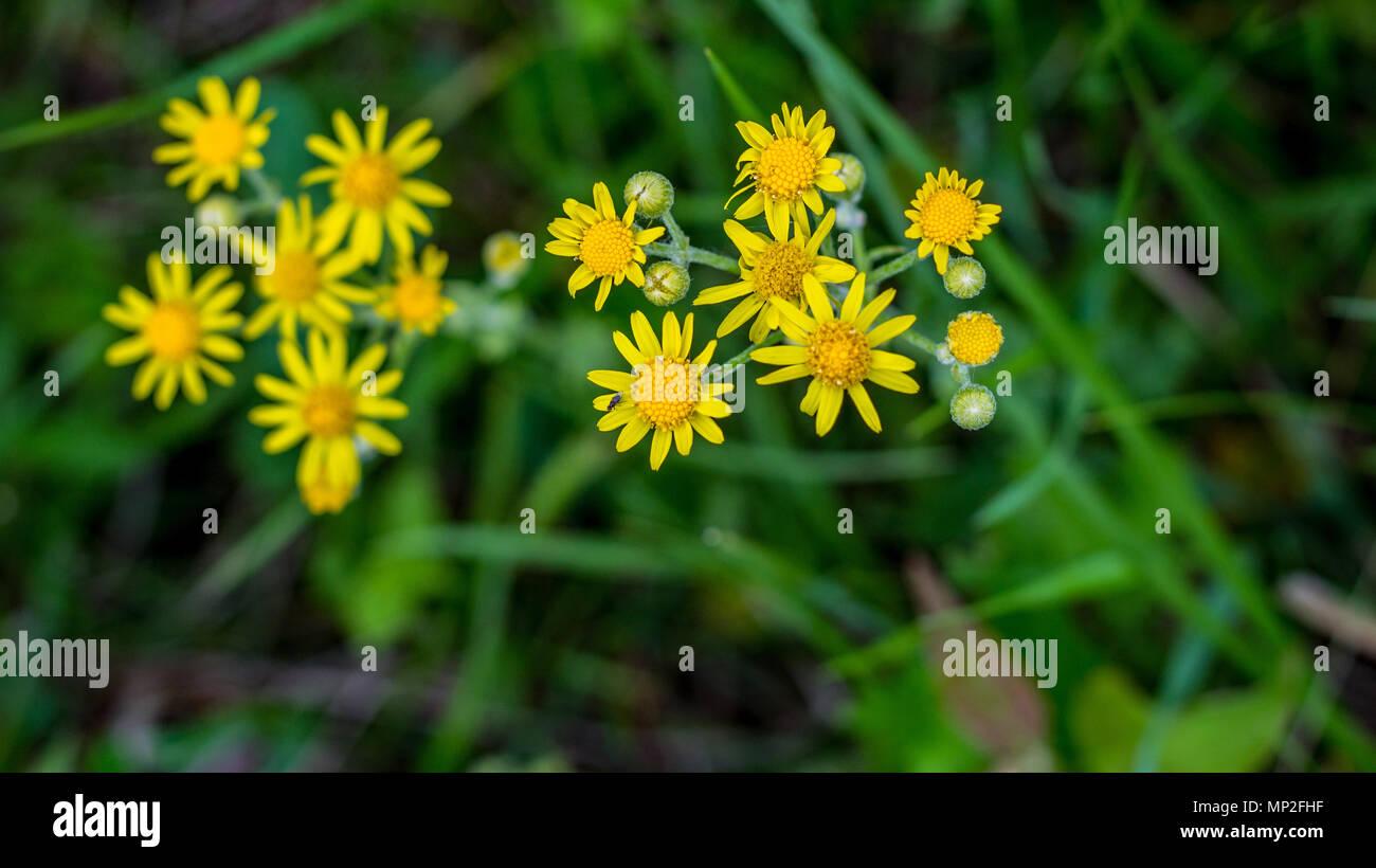 Fiori Selvatici Gialli.Un Raccolto Di Giallo Tarassaco Fiori Selvatici Visto In Fiore