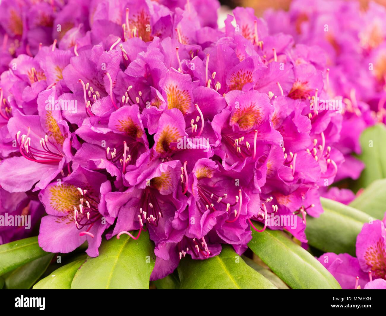 Cluster di fiori di magenta nel traliccio di hardy rododendro ibrido, 'Marcel Menard' Immagini Stock