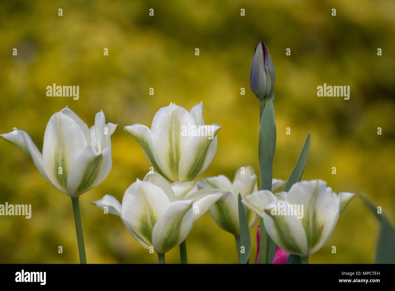 I tulipani, rosa, verde e bianco e nero parrot in bud Foto Stock