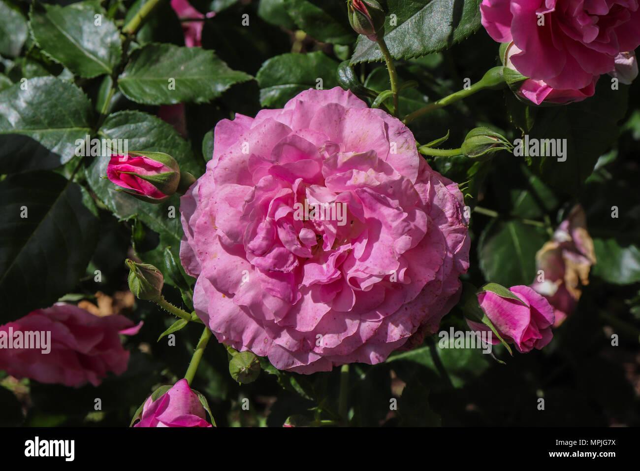 Deep Pink Rose, Orto Botanico Sapienza Università di Roma Immagini Stock