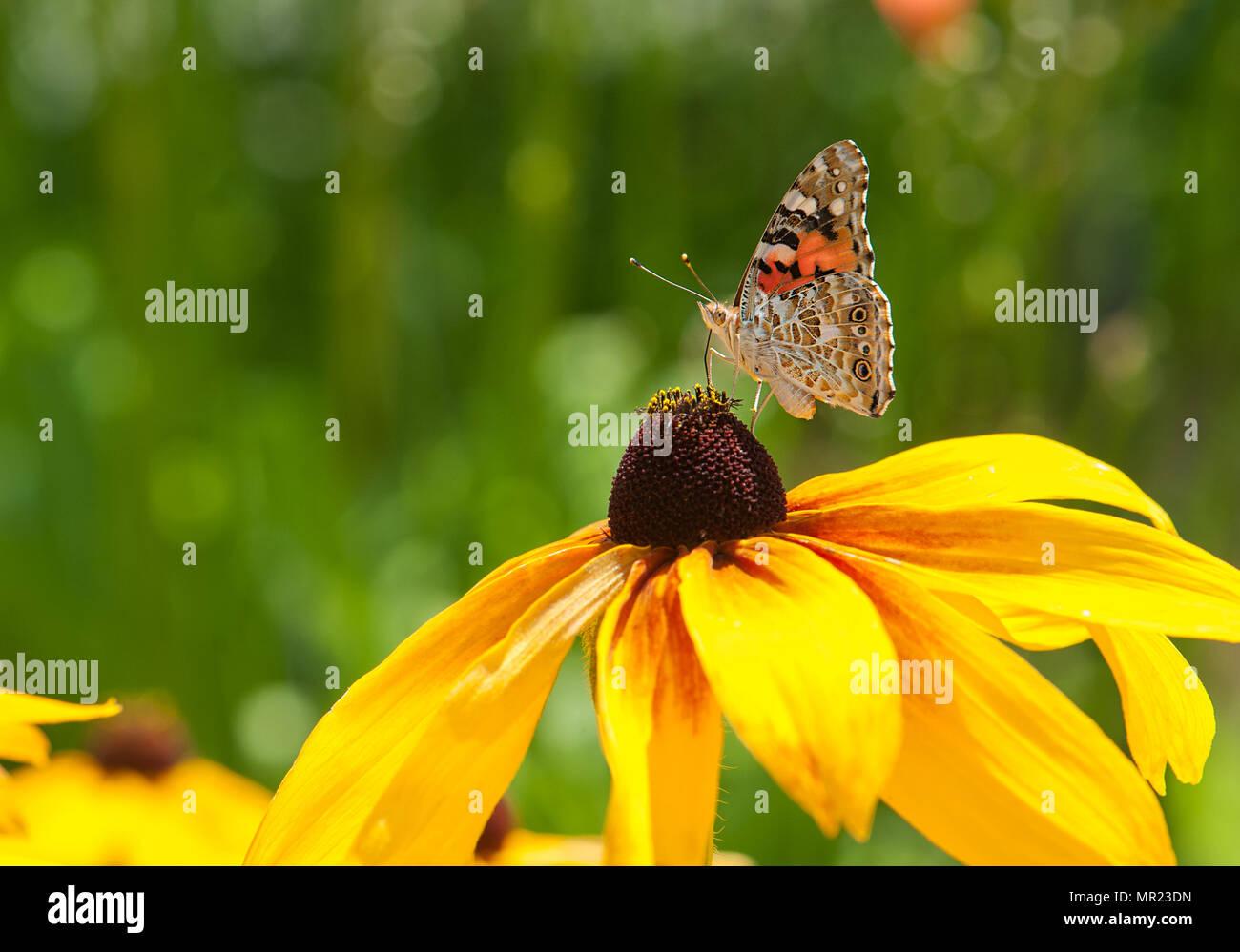 Splendido piccolo farfalla posata su un fiore giallo. Immagini Stock