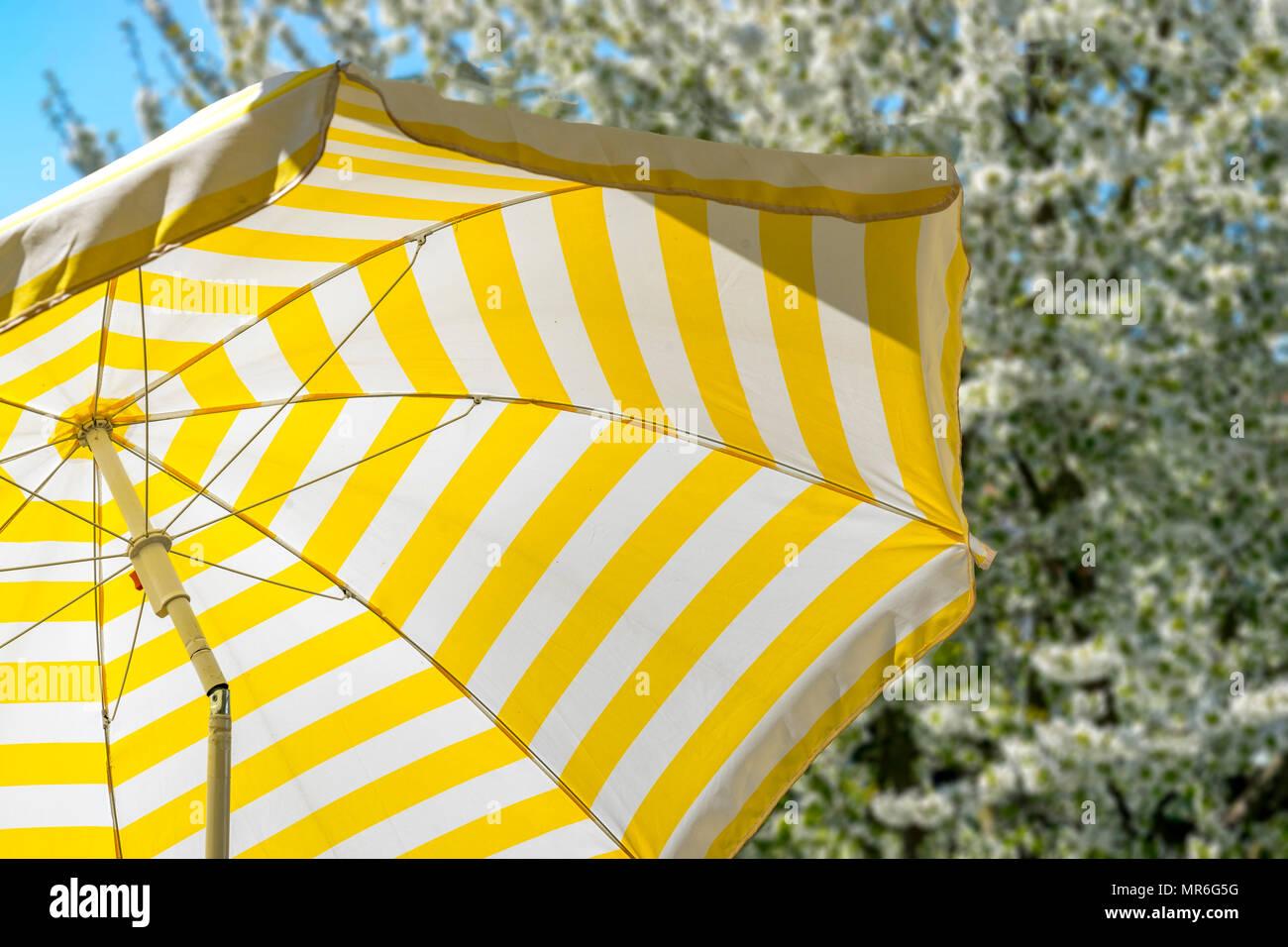 Carta Da Parati Fiori Di Ciliegio : Giallo e bianco striato parasol davanti ad un pieno fiore di