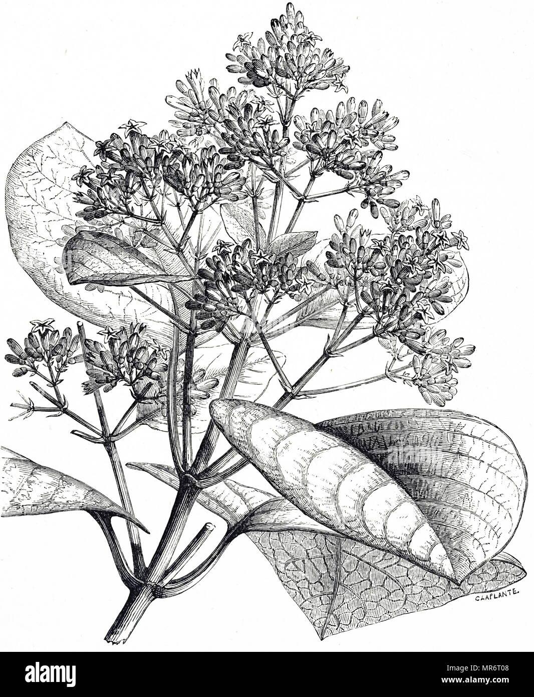 Incisione raffigurante alcuni accenni di china, un genere di piante in fiore nella famiglia Rubiaceae e la sorgente dell'alcaloide Quina che è utilizzato in acqua tonica. Datata del XIX secolo Immagini Stock