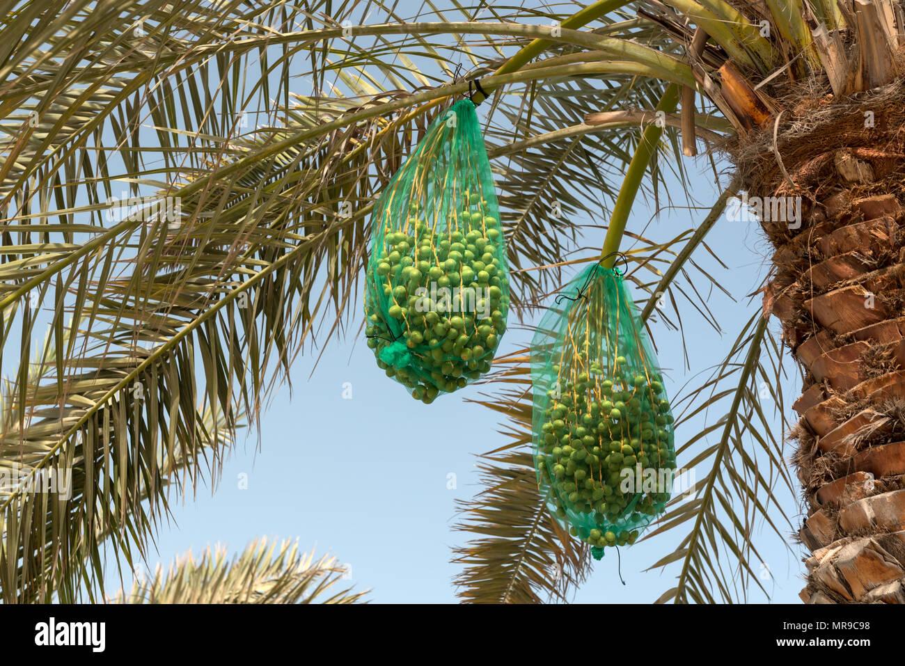 I grappoli di date che cresce su un albero di palma. Le date sono coperti in una rete per proteggerli da uccelli e per la cattura di randagi frutta caduta Immagini Stock