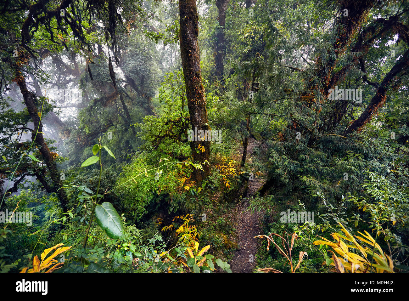 Lo splendido paesaggio di alberi ad alto fusto di foggy subtropicale foresta di Annapurna trek in Nepal Immagini Stock