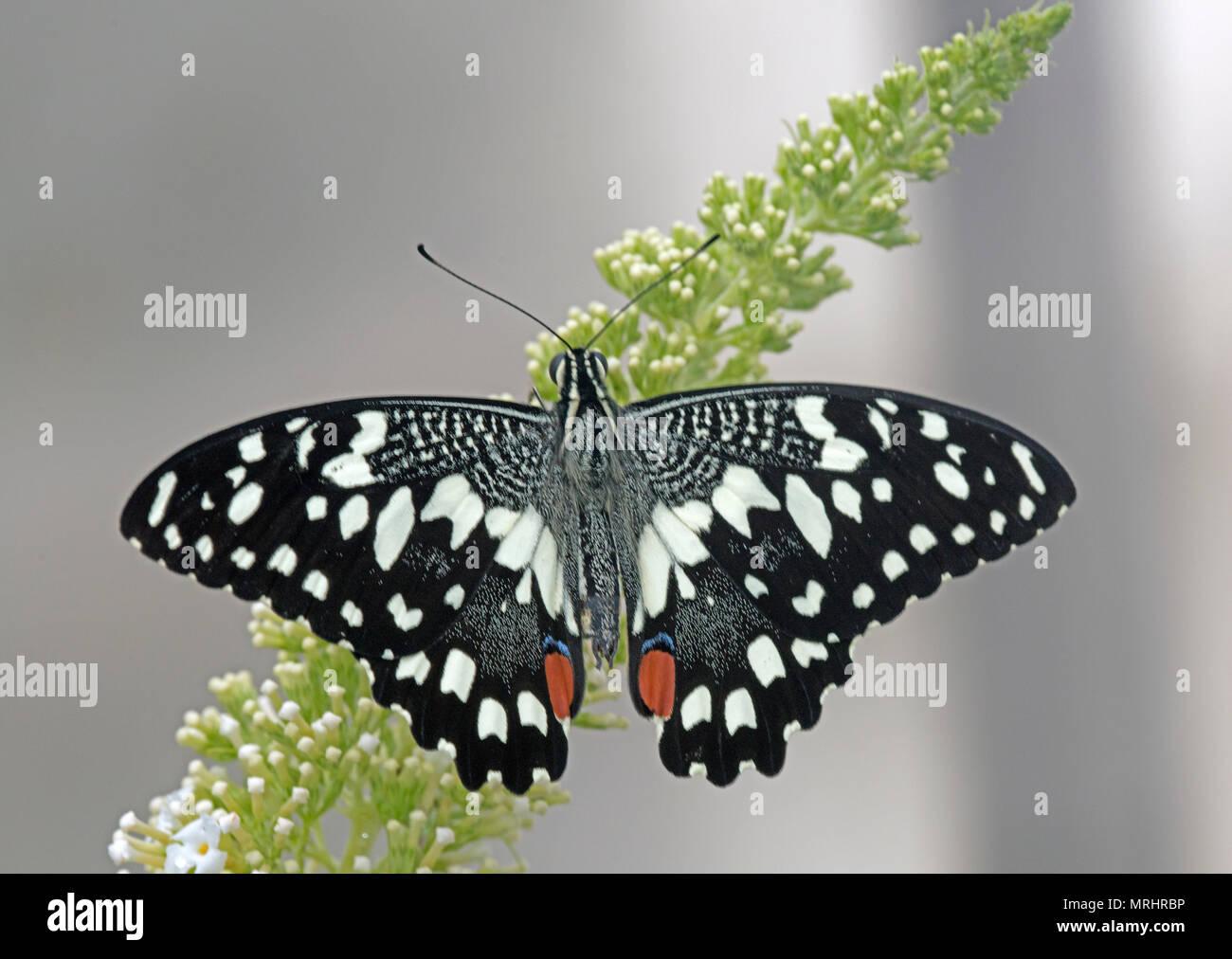 Limone, butterfly Papilio demoleus. Conosciuta anche come la calce butterfly, calce a coda di rondine e a coda di rondine a scacchi. Immagini Stock