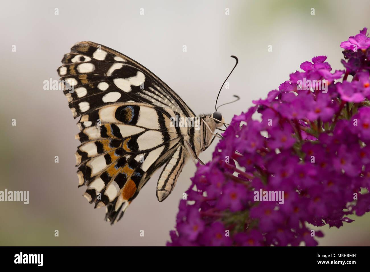 Lime, butterfly Papilio demoleus. Noto anche come il limone butterfly, calce a coda di rondine e a coda di rondine a scacchi. Immagini Stock