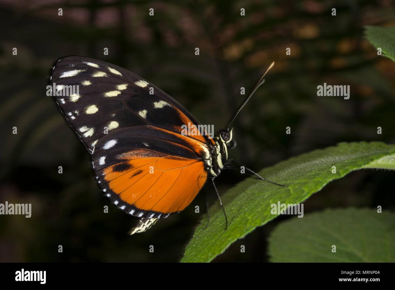 Crema-spotted Tigerwing o variabile, Prestonian Thitorea tarracina, Nymphalidae, Costa Rica, Centroamerica Immagini Stock