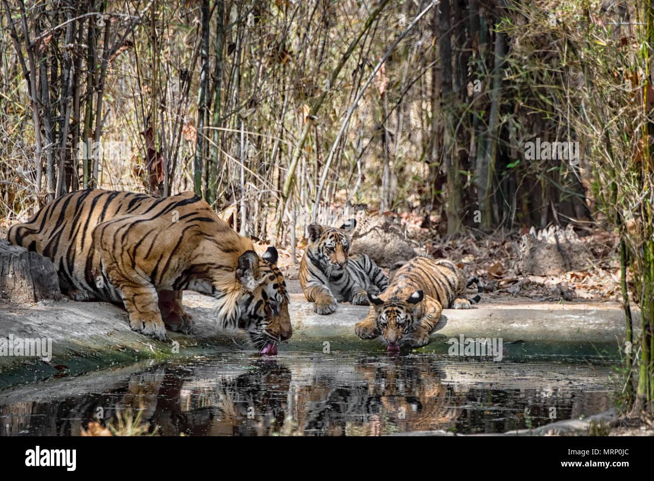 Due graziosi poco di due mesi di età il Bengala cuccioli di tigre, Panthera tigris tigris e loro maschio adulto padre bere, Bandhavgarh Riserva della Tigre, India Immagini Stock