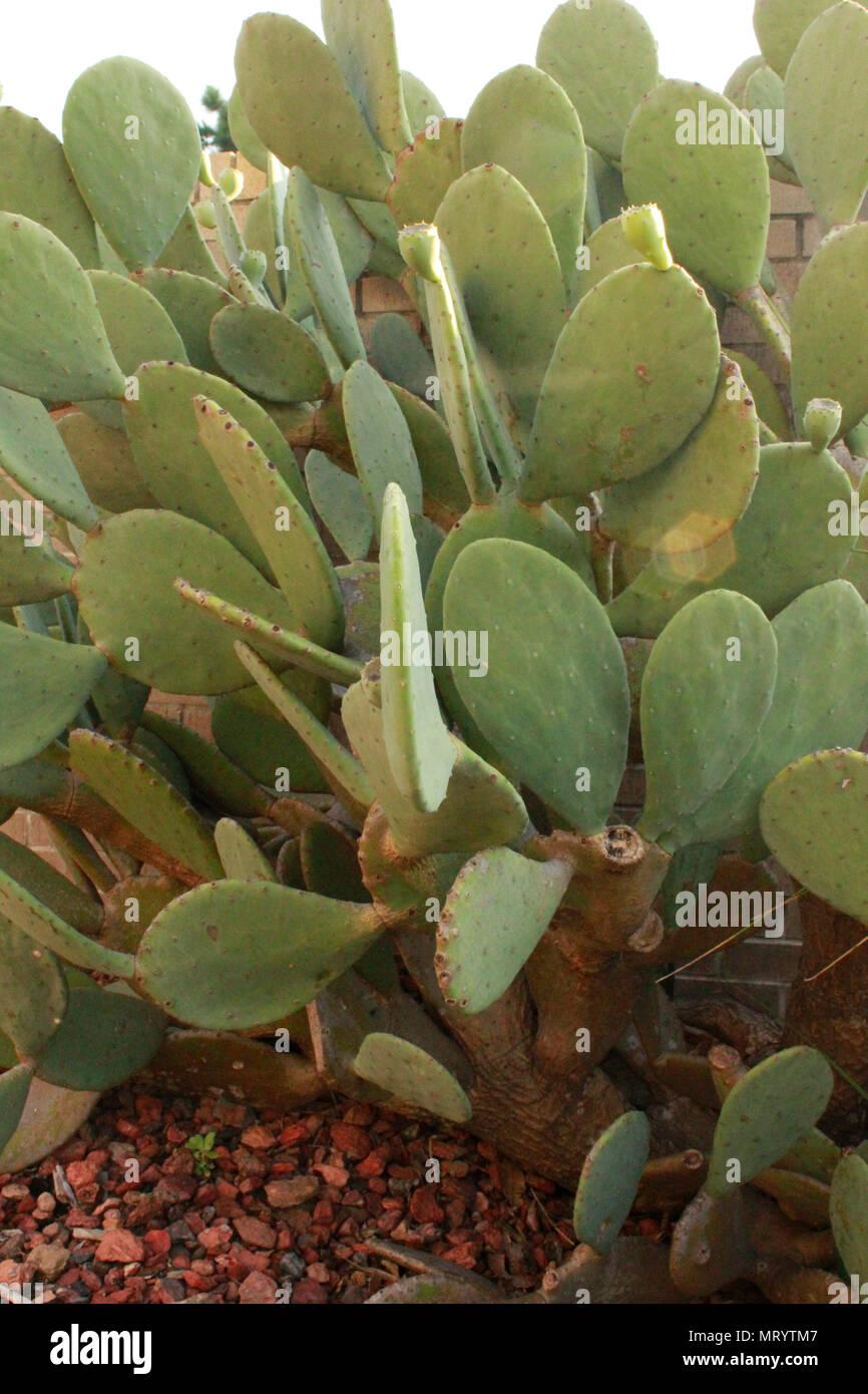 Doni della natura. Patch di cactus, lavanda con api, impianto di nero. Dintorni della natura della vita vegetale. Il godimento dei doni che sono beati sulla terra. Immagini Stock