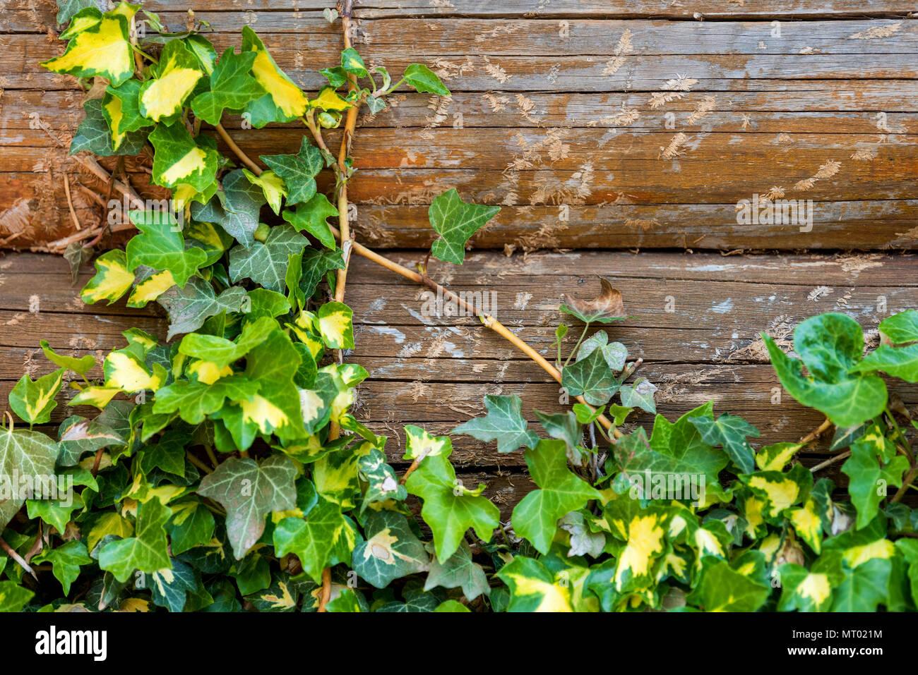 In Legno Naturale Con Sfondo Verde Foglie Dedera Foto Immagine
