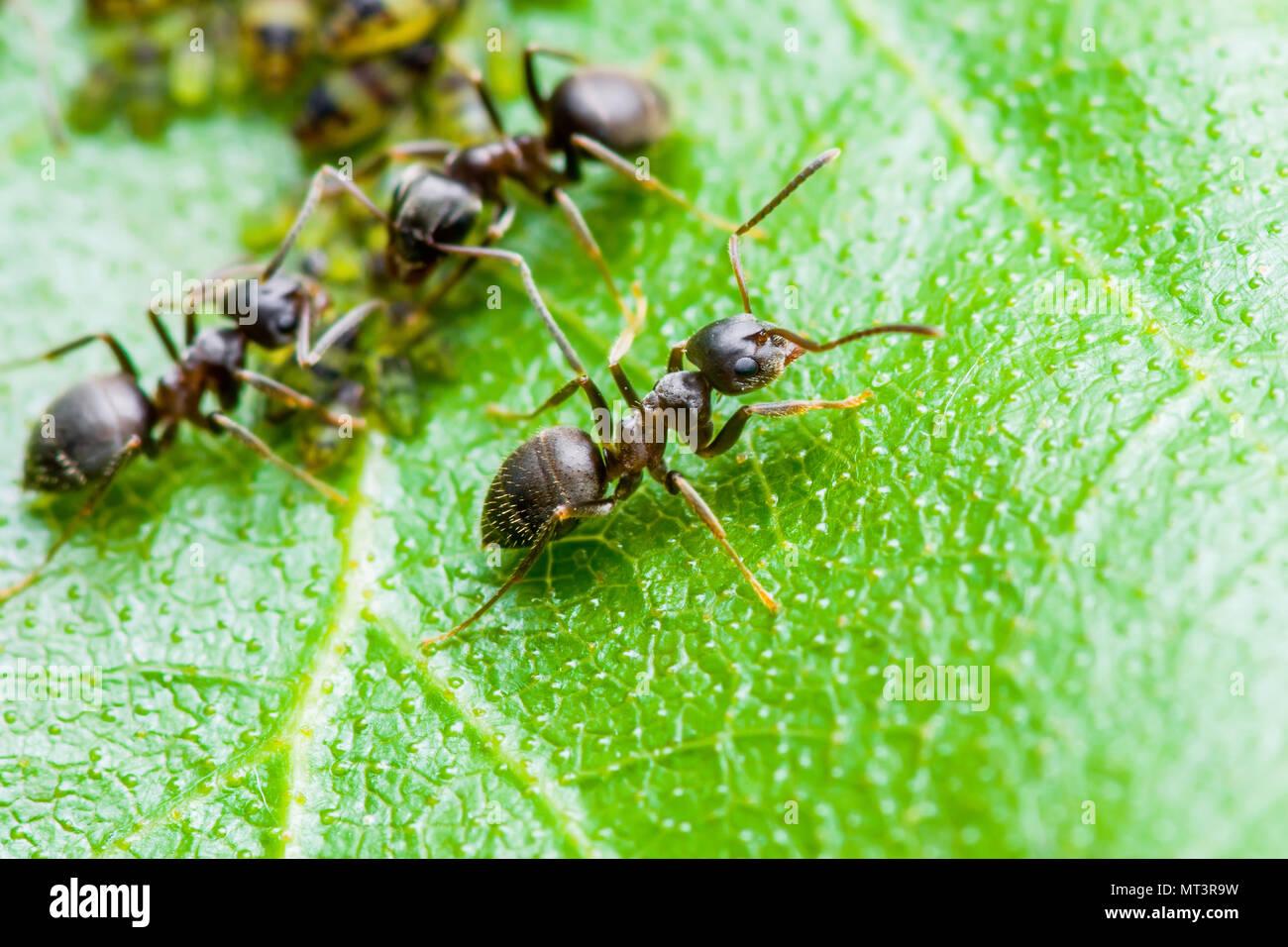 Formica e afidi colonia su foglia verde Immagini Stock