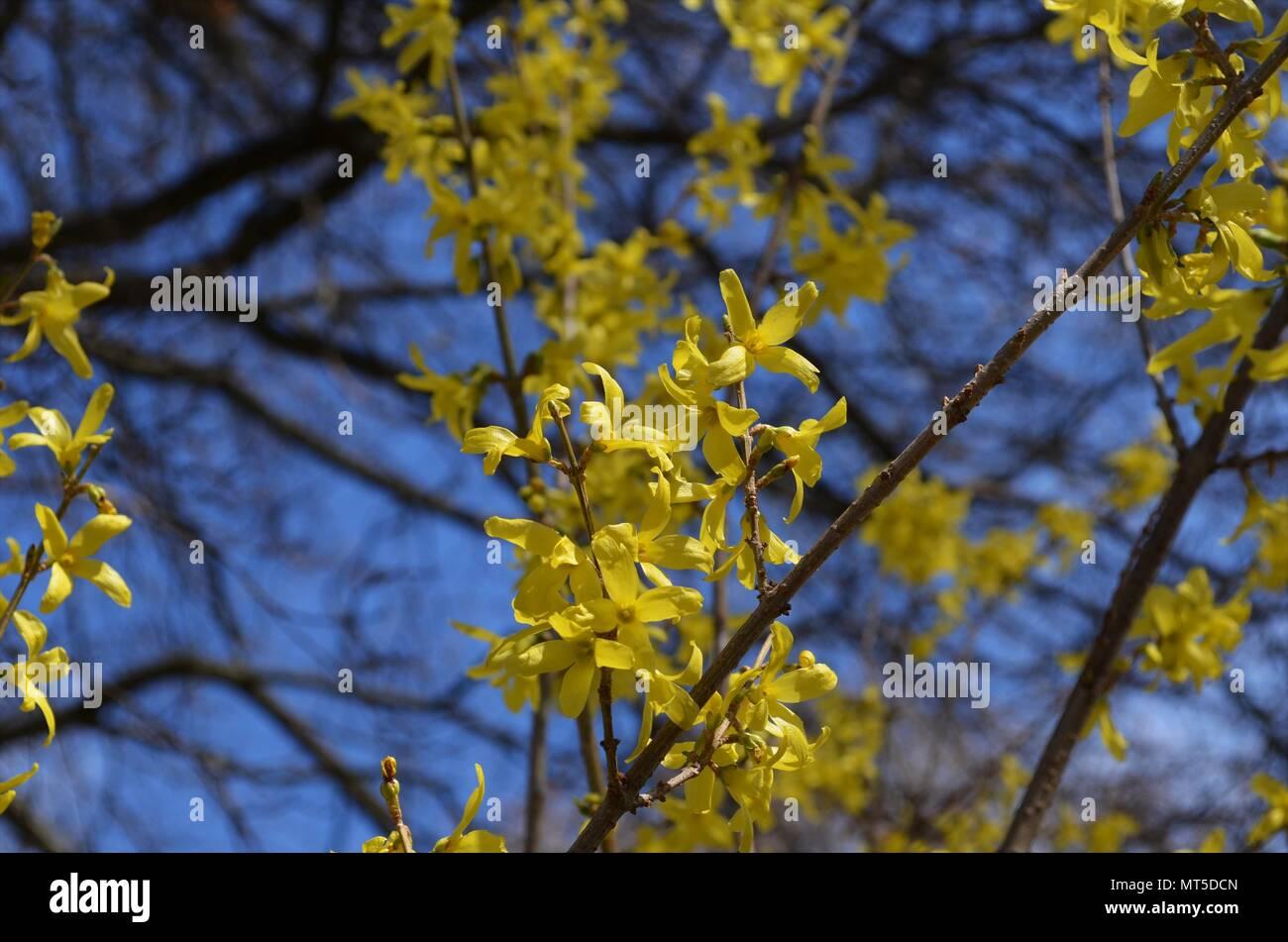 Fiori Gialli Germania.Piccoli Fiori Gialli Sui Rami Fioritura In Primavera In Germania