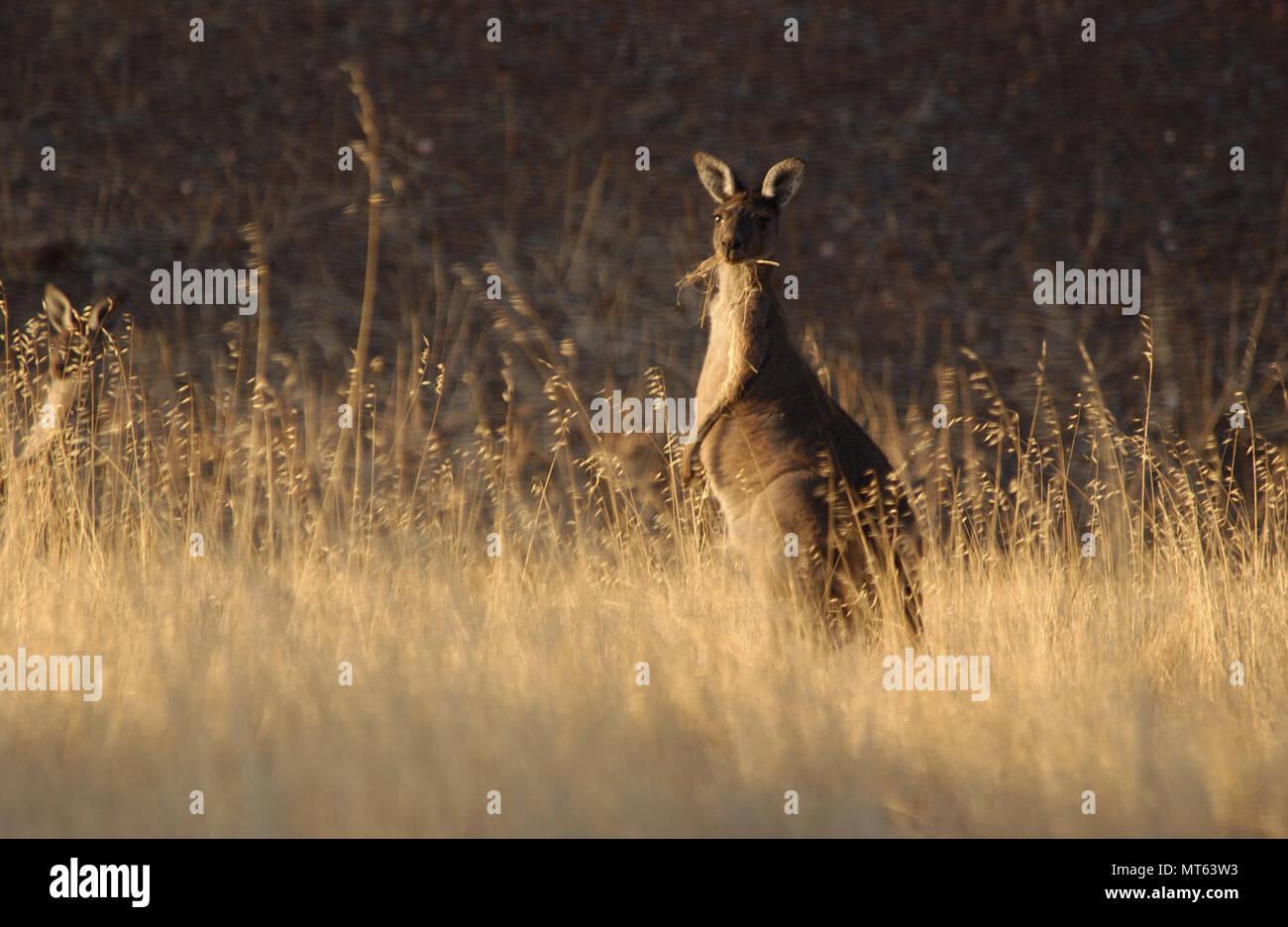 Un occidentale Canguro grigio, outback Australia Occidentale. Immagini Stock