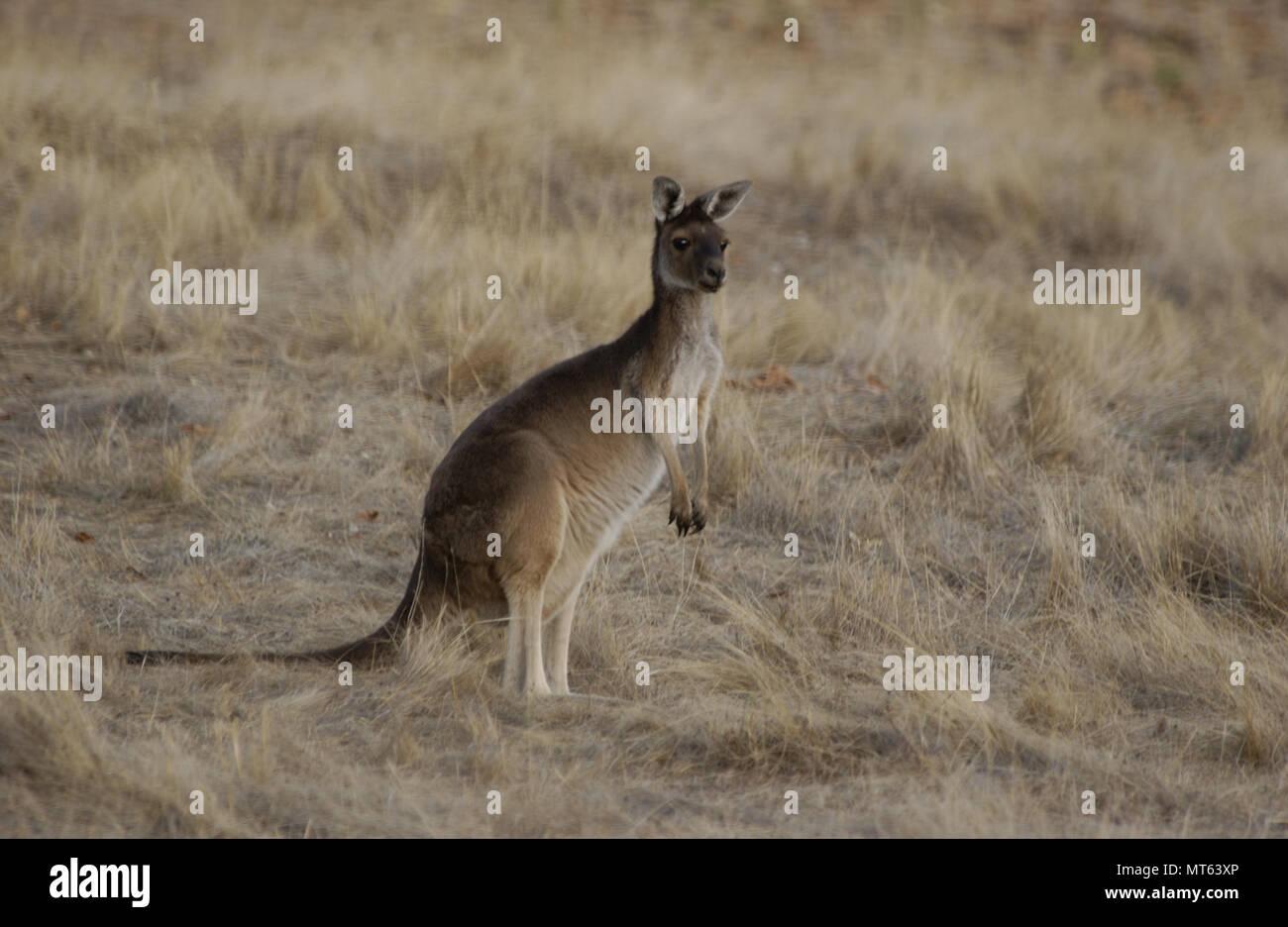Grigio occidentale Canguro, Australia occidentale Immagini Stock